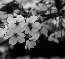 Japan Sakura - Somei Yoshino (Monochrome) by Quentin Jarc