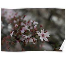 Japan Sakura - Somei Yoshino Poster