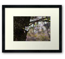 Japan Sakura - Somei Yoshino Framed Print