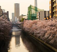 Japan Sakura - Nakameguro Cherry Blossom by Quentin Jarc