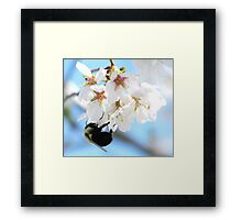 Bumble Bee In The Apple Blossoms Framed Print