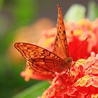 Red Lacewing - Cape tribulation - Daintree FNQ by john  Lenagan