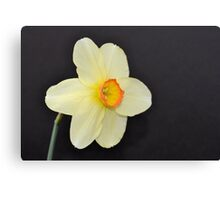 Little Yellow Daffodil  Canvas Print