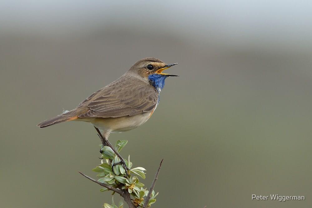 Bluethroat IV - (Luscinia svecica) by Peter Wiggerman