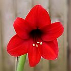 Red Amaryllis by AnnDixon