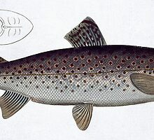 Sea Trout (Salmo Trutta) by Bridgeman Art Library