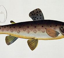 Brown Trout (Salmo Iasustris) by Bridgeman Art Library