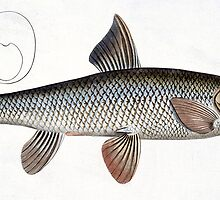 Barbel (Cyprinus Barbus) by Bridgeman Art Library