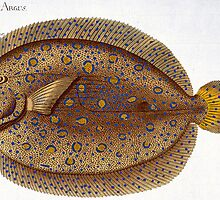 The Argus Flounder (Pleuronectes Argus) by Bridgeman Art Library