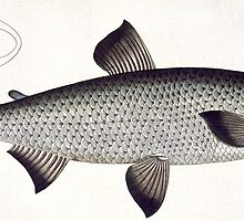 Salmon (Salmo Maraena) by Bridgeman Art Library
