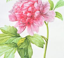 Japanese Tree Peony (Paeonia suffruticosa) by Bridgeman Art Library