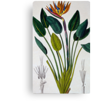 Bird of Paradise, or Crane Flower Canvas Print