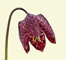 Fritillaria meleagris by ipgphotography