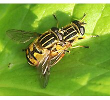 Playing piggy-back?  Hover flies Photographic Print