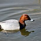 Male Pochard Duck by Susie Peek