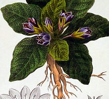Mandragora officinarum by Bridgeman Art Library