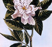 Gardenia G. augusta by Bridgeman Art Library