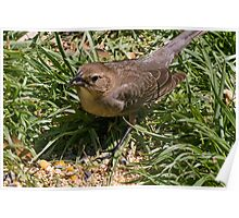 Female Brown-headed Cowbird Poster