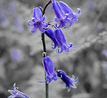 English Bluebell by JEZ22