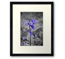 English Bluebell Framed Print