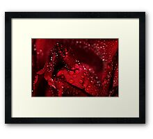 red rose and water drops Framed Print