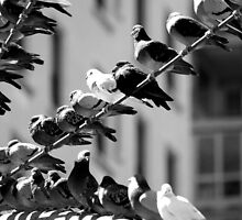 Black and White City Birds               IMG_8084 by KarenDinan