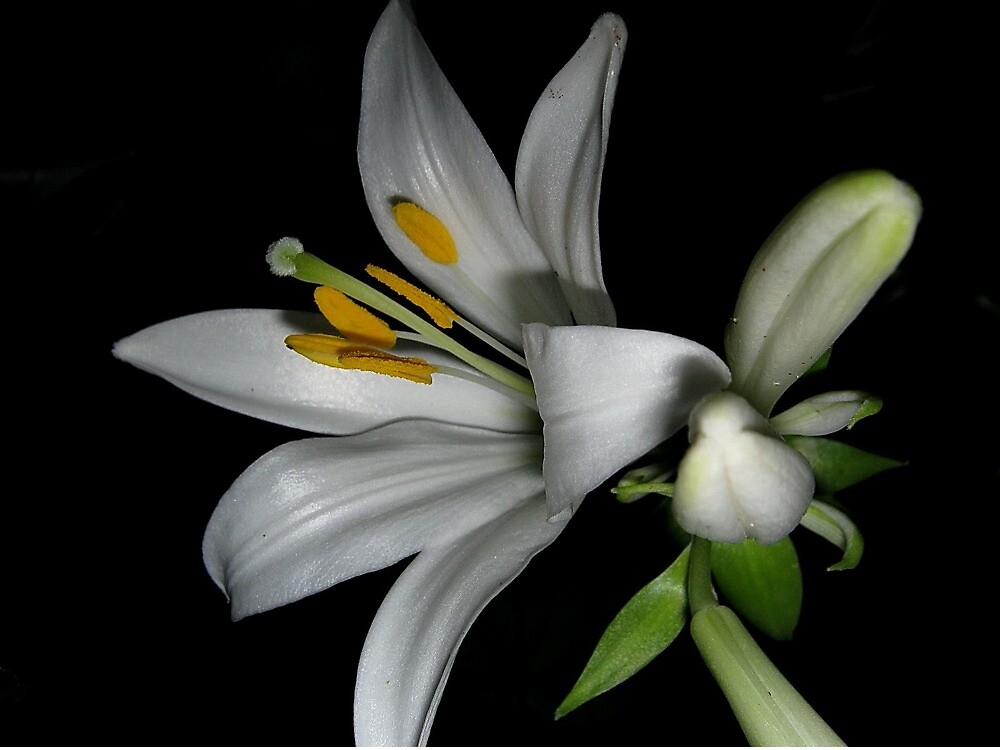 White lily by Ana Belaj