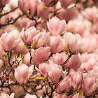 Magnolia by Mats Silvan