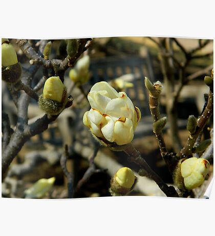 Magnolia Buds Poster