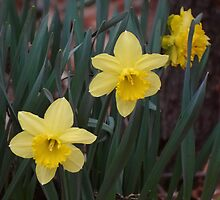 Daffodils by the road by vigor