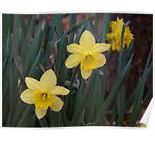 Daffodils by the road Poster