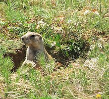 Prairie Dog, Wyoming by Taryn Halterman