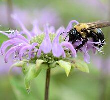 Honey Bee by Kathleen Brant