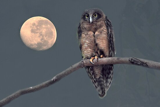 Rufous Owl with Moon Background by Alwyn Simple