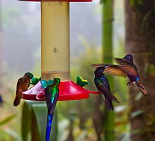 Four Species Of Hummingbirds In Mindo Ecudor by Al Bourassa