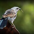 The Nester - Apostle bird by bekyimage