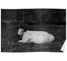 White Cow Luxuriates On Hednesford Hills Poster