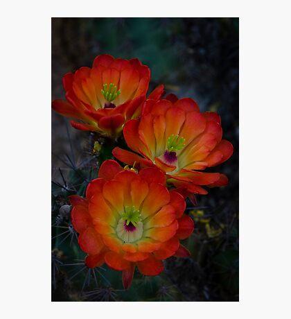 Claret Cup Cactus  Photographic Print