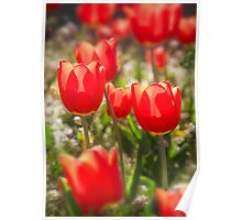 Red Tulips In The Sun Poster