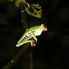 Red-eyed Leaf Frog by hummingbirds