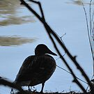 Duck At Large by farmbrough