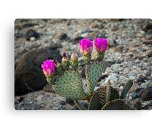 cactus flowers Canvas Print