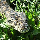 Monty the Carpet Python by Mark Batten-O'Donohoe