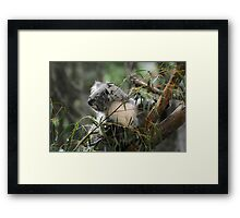 Koala at Healesville 11 Framed Print