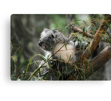 Koala at Healesville 11 Canvas Print