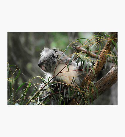 Koala at Healesville 11 Photographic Print