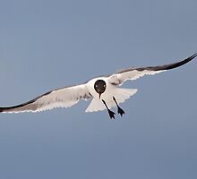 Laughing Gull -going to get you!! by jozi1
