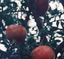 Pomegranate. Sticker