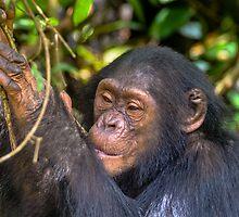 Juvenile Chimp by Nicholas Barrington Haynes