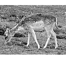 Fawn (5) Photographic Print